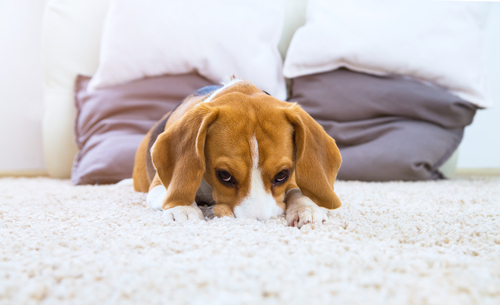 Will Carpet Cleaning Remove Urine Smell?